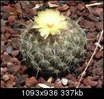 Вот вам цветочек кактуса