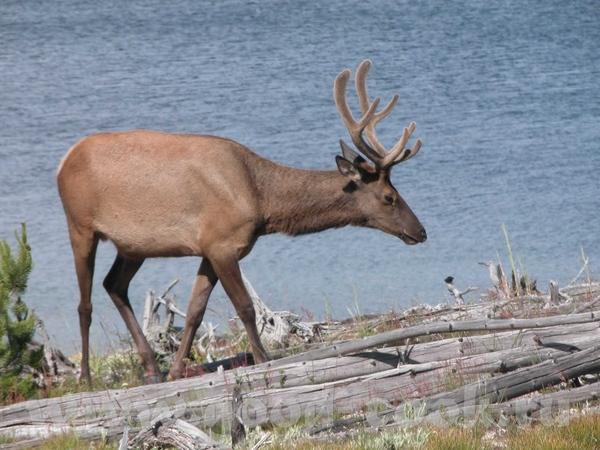 """Проехав по парку """"Grand Teton"""" мы в'ехали в """"Yellowstone"""""""