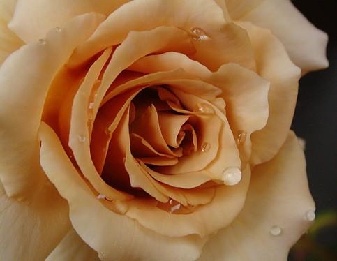 чайная роза примерно вот так выглядит