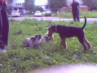 А тут вся мопсова семья на выгуле,мой щен ошалел от такого количества мопсов одновременно