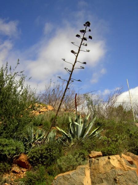 Раньше местные жители использовали вместо ели к Рождеству, вот такую агаву Теперь же благодаря глоб...