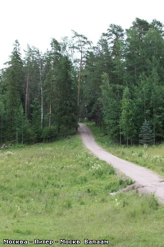 Коневский Скит А дорога продолжается Одинокая берёзка среди соснового леса - 4