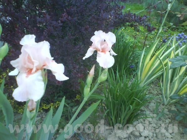 Немного нашей весны: расцвели ирисы - 3