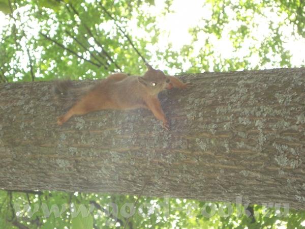 Это белочка спускается по дереву, а в зубах держет фундук