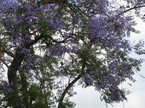 И то что меня очаровало, ето сиреневые деревья, я их увидела на улицах города еше из самолёта - 7