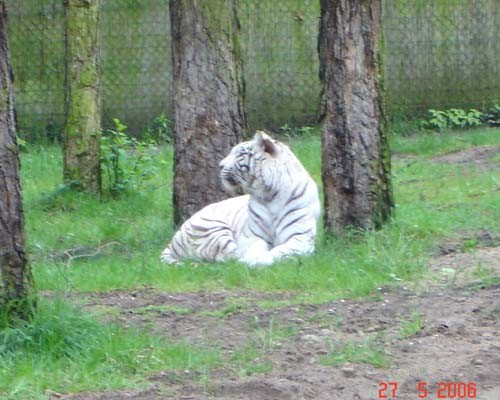 Ну и знаменитые белые тигры, львов мы чего то не щелкнули, дождь сильный пошел - 3