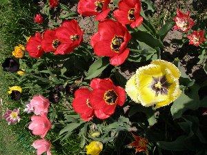 а это наши тюльпаны звыняйте переворачивать фотки пока не научилась (ну чайник я )