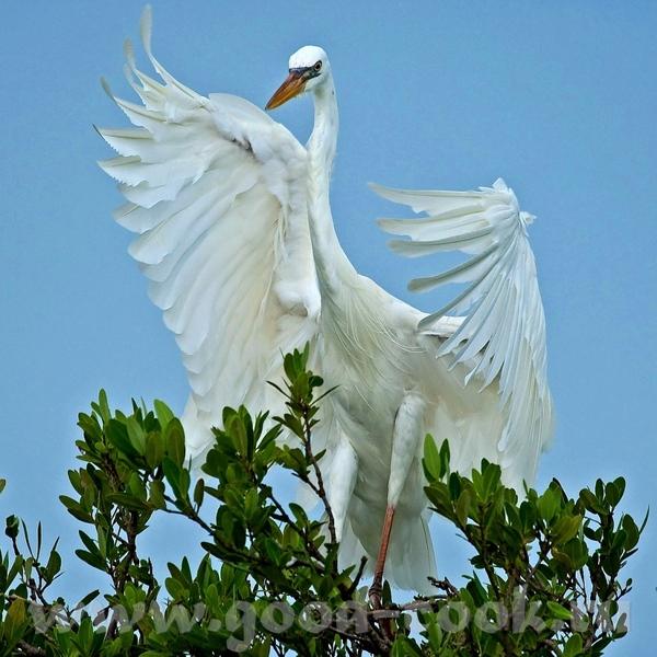 Если этo тебе поможет- лови ещё Большая белая цапля (не аист)- Great White Heron ------------------... - 2