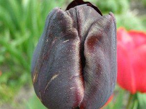 """а это наши тюльпаны не все правда там у мамы еще какие-то """"мутанты"""" должны расцвесть - 4"""