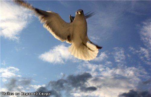 А кто захочет посмотреть на эти пируэты и кульбиты птичьи полностью - зайдите сюда: Чайки на Верхне...