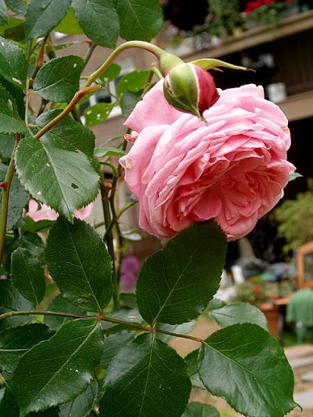 Вьющиеся розы у меня зацвели А это урок по Андрияке