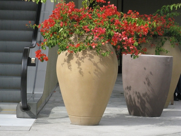 Прекрасный Гибискус растет как кусты везде, самое интересное что стригут его как кусты или газон, о... - 3