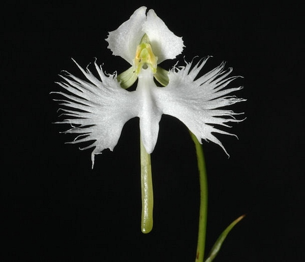 Ещё несколько цаплей из моей колекций Замечательние орхидеи (цапли, журавли - 6