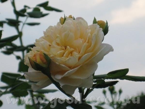 Есть и розы, но немного сникшие - 3