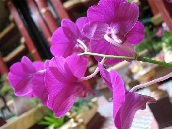 На Пхукете орхидеи повсюду в отелях, на улицах, на пляже ,их сажают возле домов, ими украшают блюда... - 3