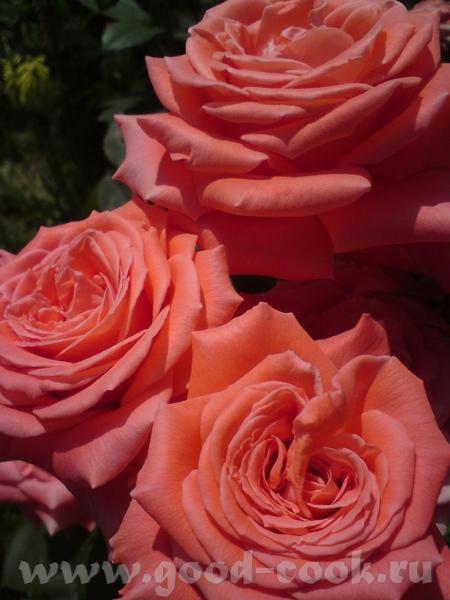 Ох, Аня, сколько ж у вас там этих роз