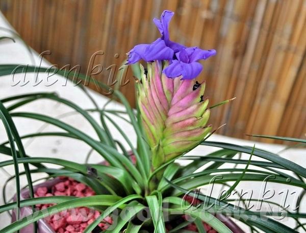 И растения других видов Тилландсия - 2