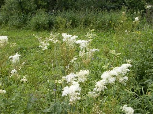 изящные синие цветы горечавка Иван чай - полезное растение - 3