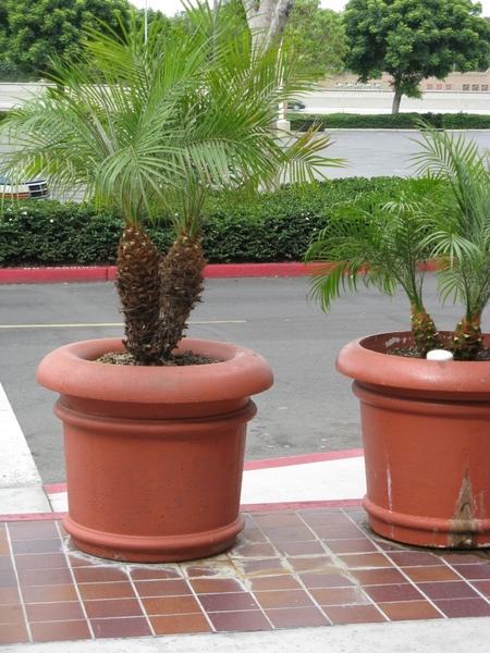Прекрасный Гибискус растет как кусты везде, самое интересное что стригут его как кусты или газон, о... - 7