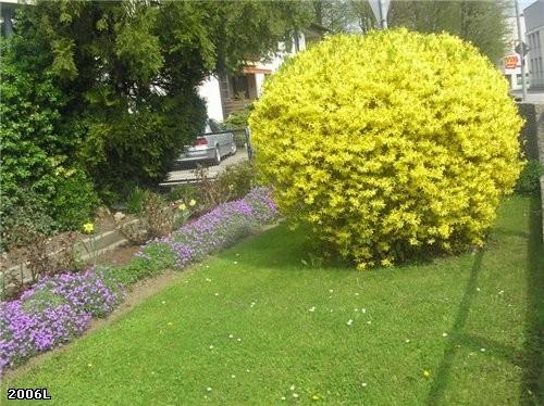 Но желтые кусты-форзиция тоже продолжает цвести, их в виде шара можно оформить