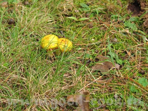 А я сделала пару фотографий грибов и еще а растут эти красавцы прям перед моим домом