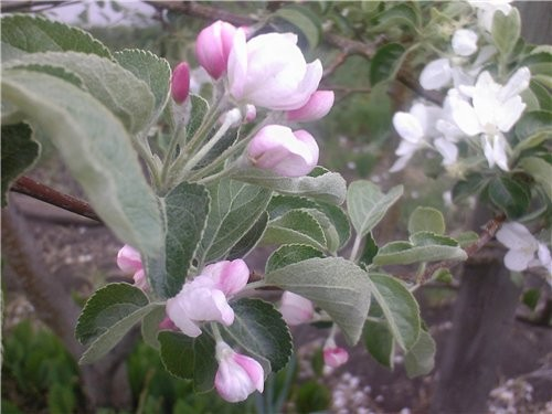 Сибирь богата на фрукты:здесь выращивают и растут не только цветы но и розы, яблоки и груши, абрико... - 2