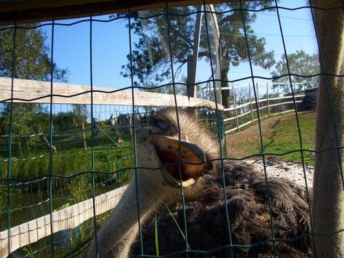 Дальше мы поехали на страусиную ферму,где я впервые увидела вживую страусов