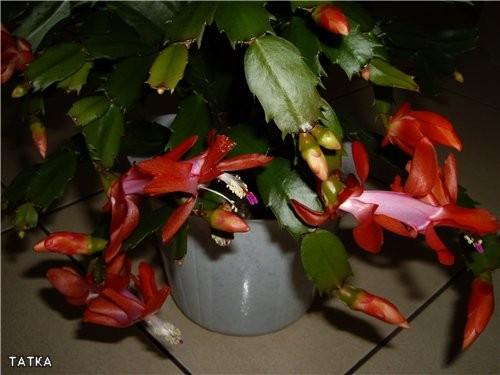 Вот мои цветущие декабристы