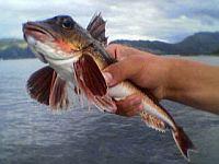 Филе рыбы Knurrhahn ( в переводе с нем