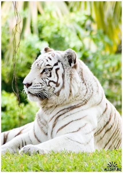 Может кому пригодится для рисунков В основном желтые тигры на календарях к 2010 году, но есть и бел... - 4
