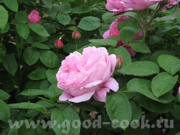 Рядом с моим домом в Садоводческом центре распустились розы - 7