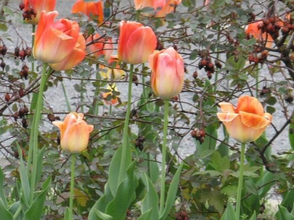 Немного весны, цветущие магнолии разных видов - 7