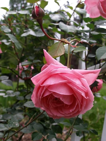 Вьющиеся розы у меня зацвели А это урок по Андрияке - 2