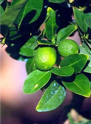 Есть такие виды лайма ЛАЙМ СЛАДКИЙ или сладкий лимон, имеет плоды, внешне похожие на лимон; они оче... - 2