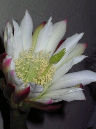 А у нас сегодня ночью наш отрезанный кактус подарил нам вот такую красоту
