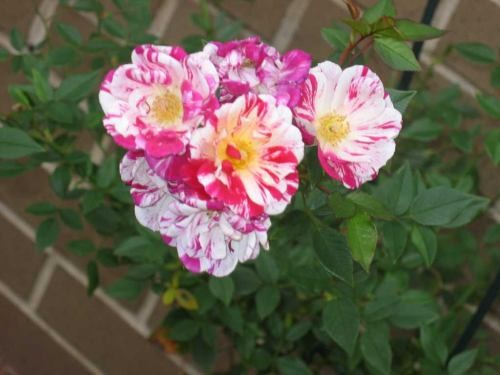 Вот такую розу(