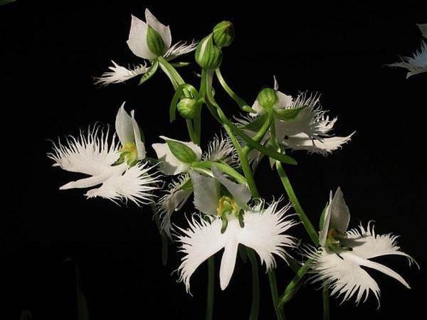 Ещё несколько цаплей из моей колекций Замечательние орхидеи (цапли, журавли - 5