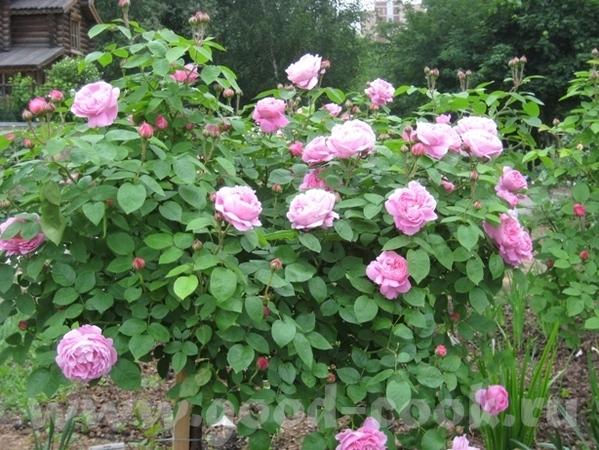 Рядом с моим домом в Садоводческом центре распустились розы - 2