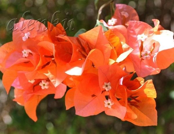 Здесь и красивые кусты бугенвиллий и каперсов,заросли кустарников соланума и лантаны