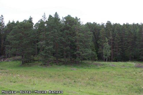 Коневский Скит А дорога продолжается Одинокая берёзка среди соснового леса - 6
