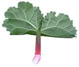 Ревень - это многолетнее травянистое растение с очень крупными листьями, весьма холодостойкое и вла...