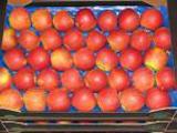 а я вот на днях купила вот такие яблоки: IDARED Вид и вкус: Яблоки среднего размера, чаще всего кру...