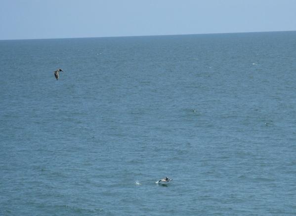 И еше немного пляжа c океаном, флорой и фауной и ee обитателями птицы похожие на пеликанов ловят ры... - 8