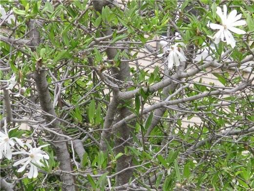 Немного весны, цветущие магнолии разных видов - 4