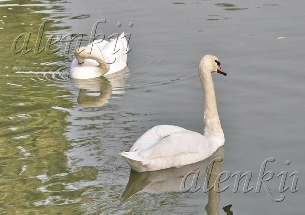 Лебеди плавают в нескольких метрах от берега и совсем не боятся людей - 2