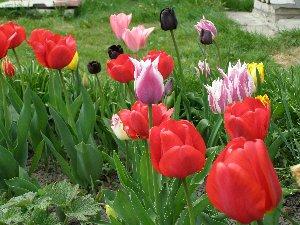 """а это наши тюльпаны не все правда там у мамы еще какие-то """"мутанты"""" должны расцвесть"""