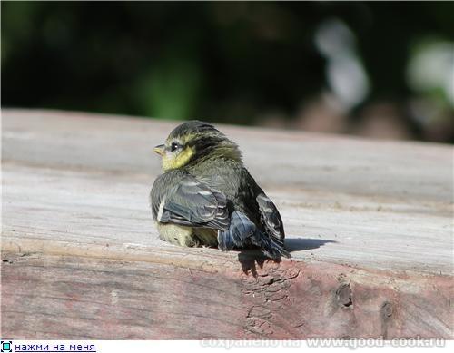 жёлтушка ещё птенчик толком летать не умеет