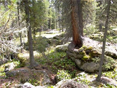 видели вы когда нибудь деревья, растущие на камнях, пускающие корни поверх камней