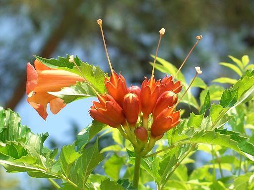 А я вам из Турции привезла Гибискус Цветы канны (спасибо Vetka) И ещё цветочек не известной породы - 3