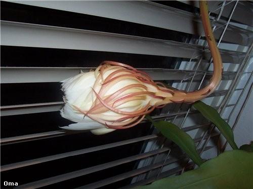 Вот такой цветочек цветёт только одну ночь в 3 или 5 лет